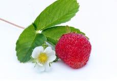 Bacca delle fragole su fondo bianco Fotografia Stock