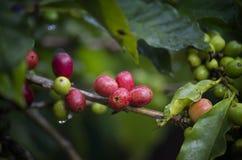Bacca di caffè che matura Fotografia Stock Libera da Diritti