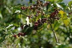 Bacca di caffè: Il mezzo della valle fotografia stock libera da diritti