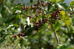 Bacca di caffè: Il mezzo della valle immagini stock libere da diritti
