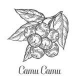 Bacca di camu di Camu, frutta, foglia, ramo della pianta Bacca organica di Superfood Fotografia Stock
