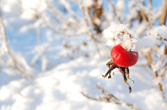 Bacca di inverno Immagini Stock Libere da Diritti