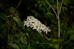 Bacca di sambuco di fioritura Fotografia Stock