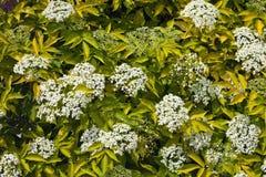 Bacca di sambuco di fioritura del cespuglio Fotografie Stock