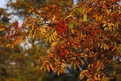 Bacca di sorbo in autunno tardo immagini stock