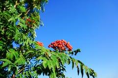 Bacca di sorbo con il cielo blu Immagine Stock Libera da Diritti