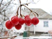 Bacca rossa del viburnum su gelo Fotografia Stock
