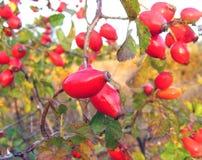 Bacca rossa dell'autunno fotografia stock libera da diritti