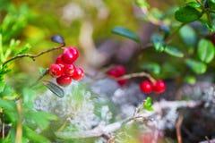 Bacca rossa dell'uva di monte Immagine Stock Libera da Diritti