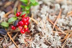 Bacca rossa dell'uva di monte Immagini Stock Libere da Diritti
