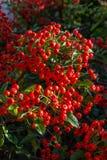 Bacca rossa della pianta decorativa con i cespugli delle foglie verdi Immagini Stock Libere da Diritti