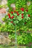 Baccara rose Rosa de noir de variété de Ginogina Image libre de droits