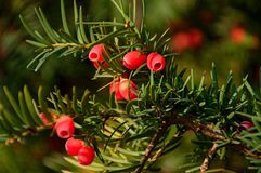 Baccata do Taxus Fotografia de Stock