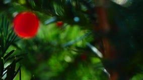 Baccata Taxus видеоматериал