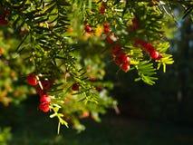 baccatataxus Royaltyfria Foton