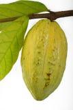 Baccelli d'attaccatura del cacao Fotografia Stock Libera da Diritti