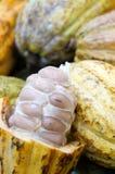 Baccelli del cacao Immagini Stock