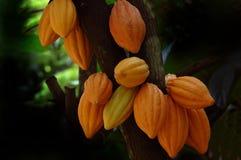 Baccelli del cacao Immagine Stock