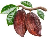 Baccelli del cacao che pendono dal ramo del cacao Foto concettuale fotografia stock