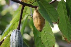 Baccelli del cacao con le foglie fotografie stock