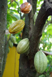 Baccelli del cacao sull'albero Fotografia Stock