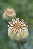 Baccelli del papavero - teste del papavero Fotografie Stock Libere da Diritti