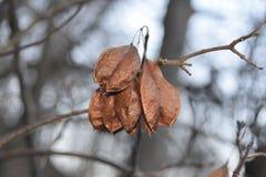 Baccelli del seme del bladdernut americano Fotografia Stock