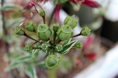 Baccelli del seme del fiore di variegata di Alstromeria Fotografia Stock