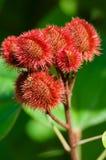 Baccelli del seme dell'albero dell'annatto Immagine Stock Libera da Diritti