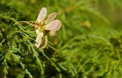 Baccelli del seme dell'albero di acero Fotografia Stock