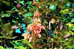 Baccelli del seme dell'albero di acero Fotografia Stock Libera da Diritti