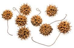 Baccelli del seme della gomma dolce fotografia stock libera da diritti