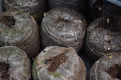 Baccelli del seme della sporcizia Fotografia Stock Libera da Diritti