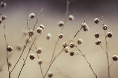 Baccelli del seme di fiore di estate fotografia stock