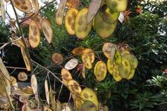 Baccelli del seme di onestà Fotografia Stock