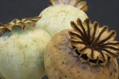 Baccelli del seme di papavero   Fotografia Stock