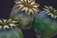 Baccelli del seme di papavero Immagini Stock Libere da Diritti