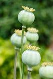 Baccelli del seme di papavero Fotografie Stock Libere da Diritti
