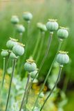 Baccelli del seme di papavero Fotografia Stock Libera da Diritti
