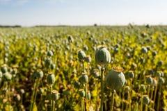Baccelli del seme di papavero in un campo dalla fine Fotografie Stock