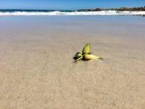 Baccelli dell'alga sulla spiaggia a bassa marea Fotografia Stock Libera da Diritti