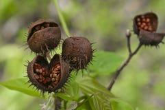 Baccelli di Annato nella giungla Fotografia Stock