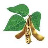 Baccelli e foglie del seme della soia Fotografie Stock Libere da Diritti
