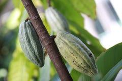 Baccelli non maturati del cacao fotografie stock libere da diritti