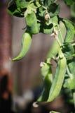 Baccelli rustici di maturazione del pisello del giardino, frutta, verdura, fra le foglie verdi su un ramo di una pianta Fotografie Stock
