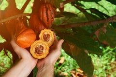Baccello aperto del cacao della tenuta dell'agricoltore Fotografie Stock
