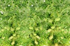 Baccello dei ceci sul primo piano verde della plantula Immagine Stock