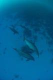 Baccello dei delfini da sopra Immagini Stock Libere da Diritti
