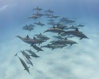 Baccello dei delfini del filatore in una laguna sabbiosa Immagine Stock