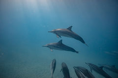 Baccello dei delfini selvaggi subacquei immagine stock libera da diritti